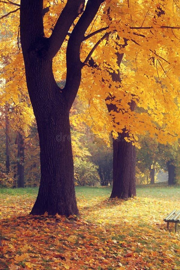 Желтое дерево в сезоне падения стоковые изображения rf