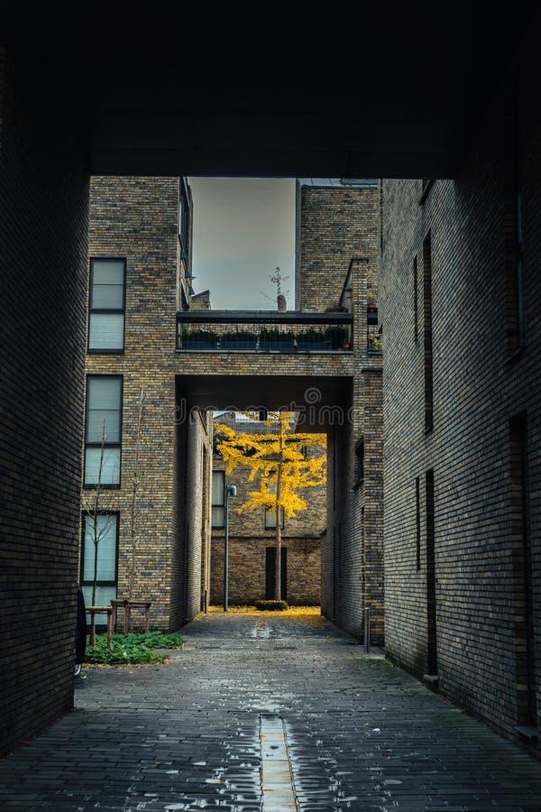 Желтое дерево осени на городском дворе в Брюгге, Бельгии стоковые фотографии rf