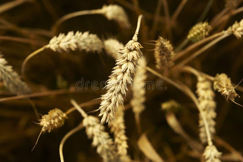Желтое зерно готовое для сбора растя в поле фермы стоковые фото