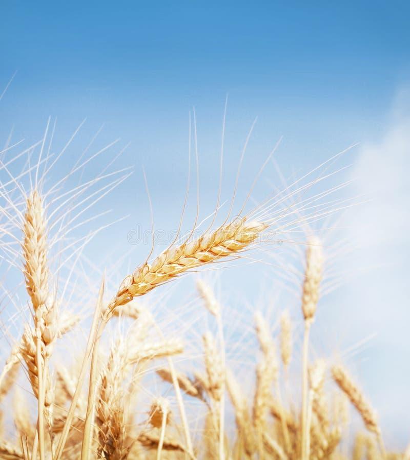Поле зерна стоковое изображение