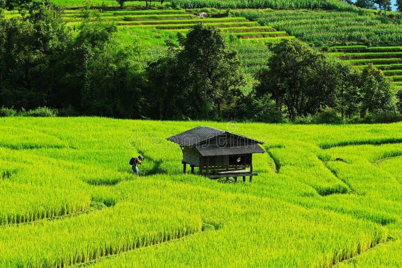Желтое поле риса стоковое изображение rf