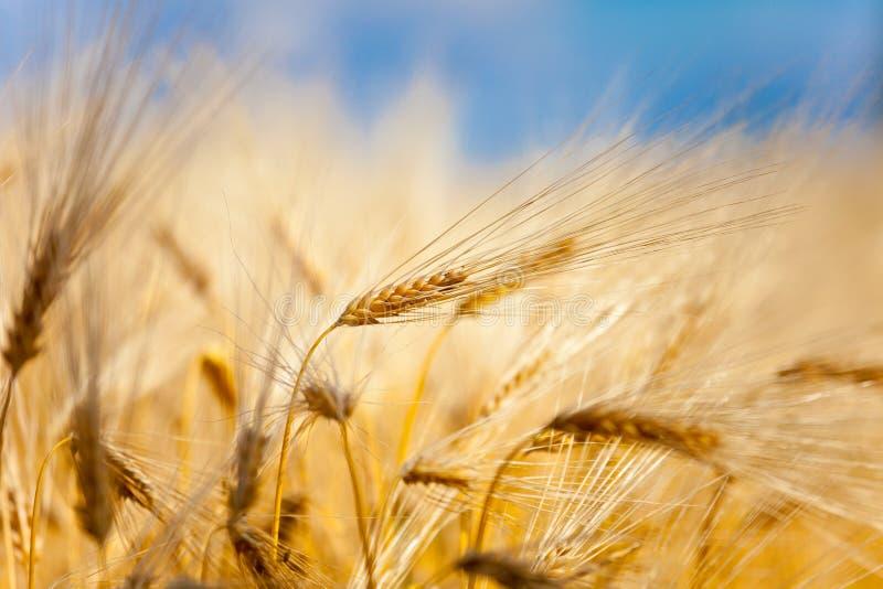 Желтое ухо пшеницы стоковое фото