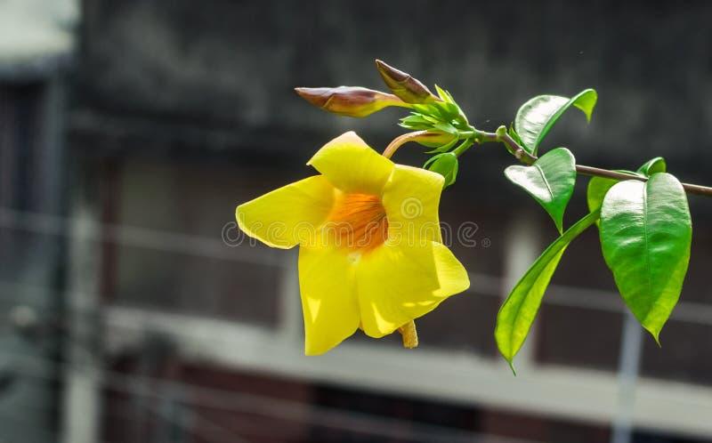 Желтое цветене цветка полностью стоковые изображения