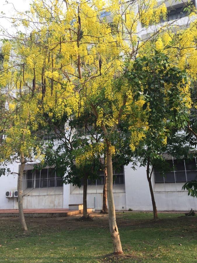 Желтое цветя дерево стоковые изображения rf