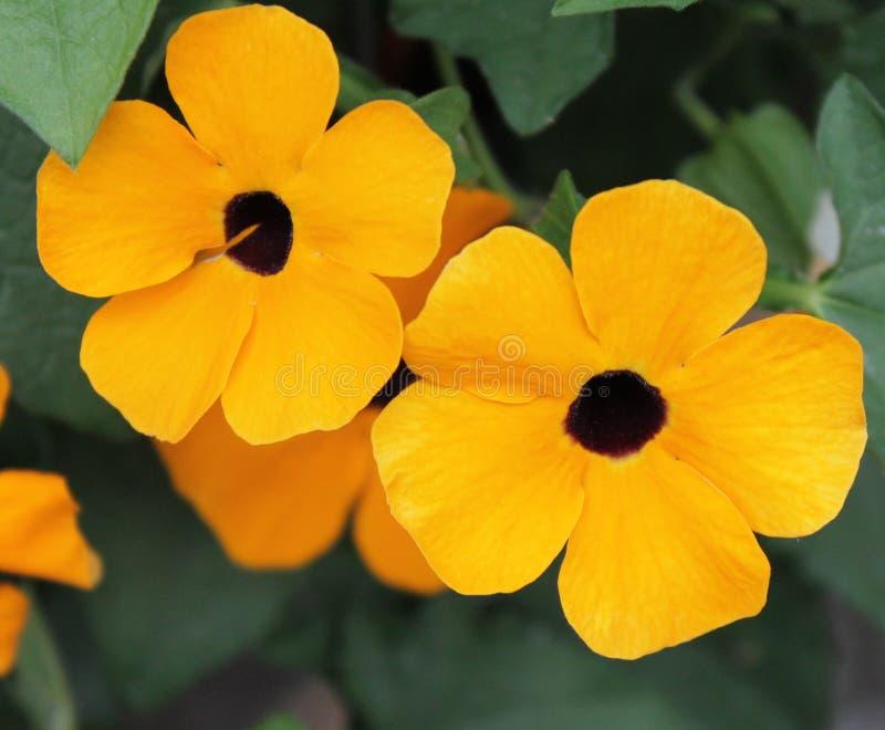 Желтое Calibrachoa стоковое фото