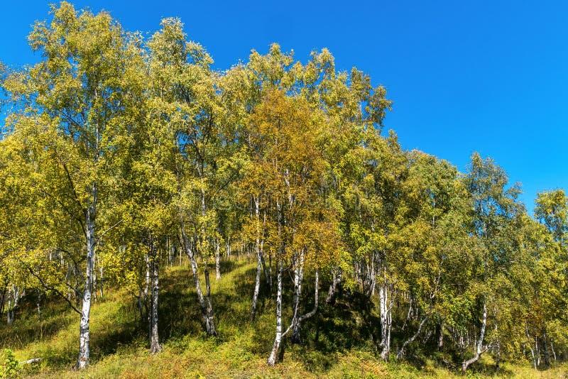 Желтые березы в лесе осени стоковые фотографии rf