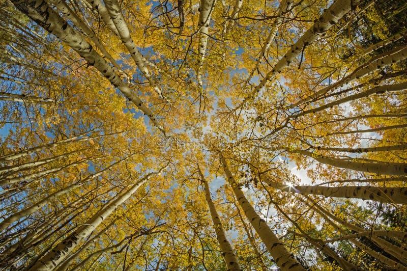 Желтые верхние части дерева Aspen стоковое изображение rf