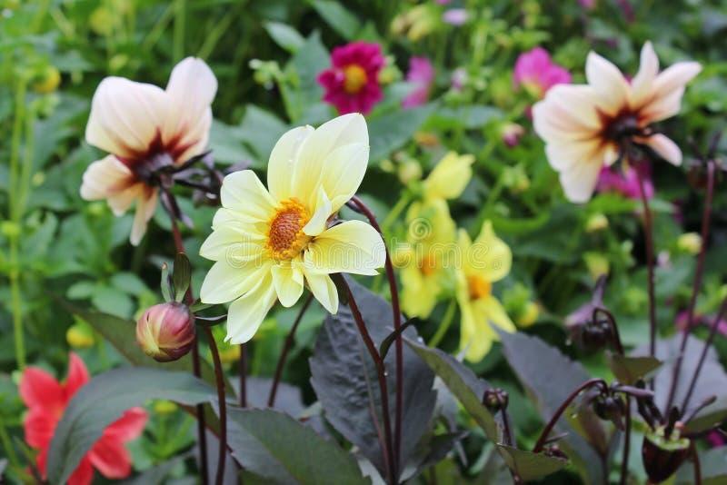 Желтые георгины в саде стоковые изображения rf