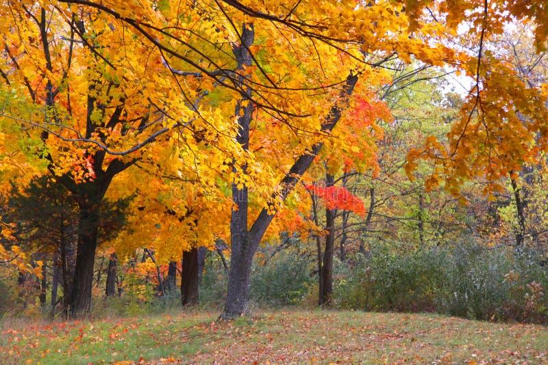 желтые деревья во времени осени стоковое фото rf
