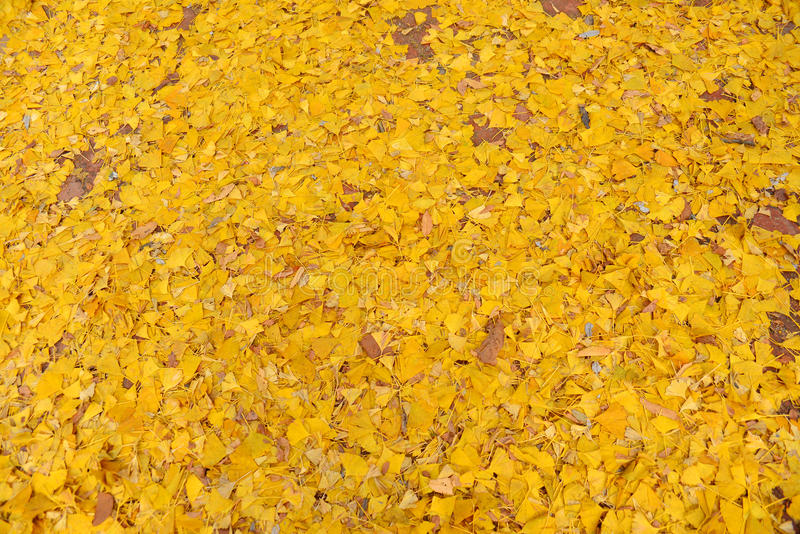 Желтые листья гинкго стоковые изображения