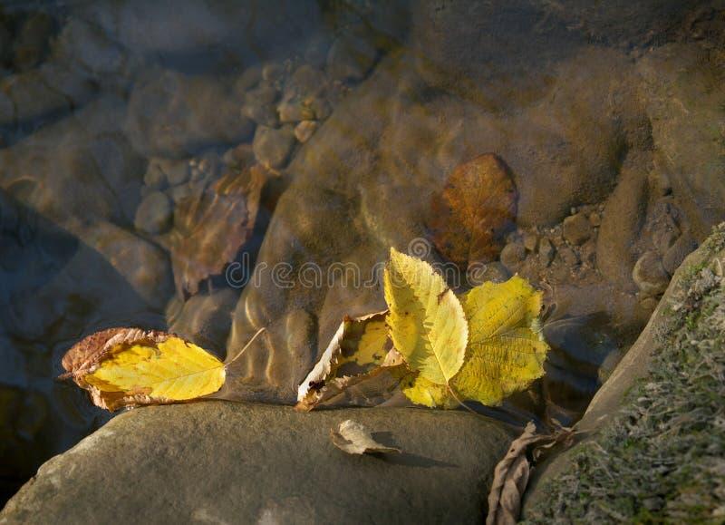 Желтые листья осени на поверхности воды стоковые изображения rf