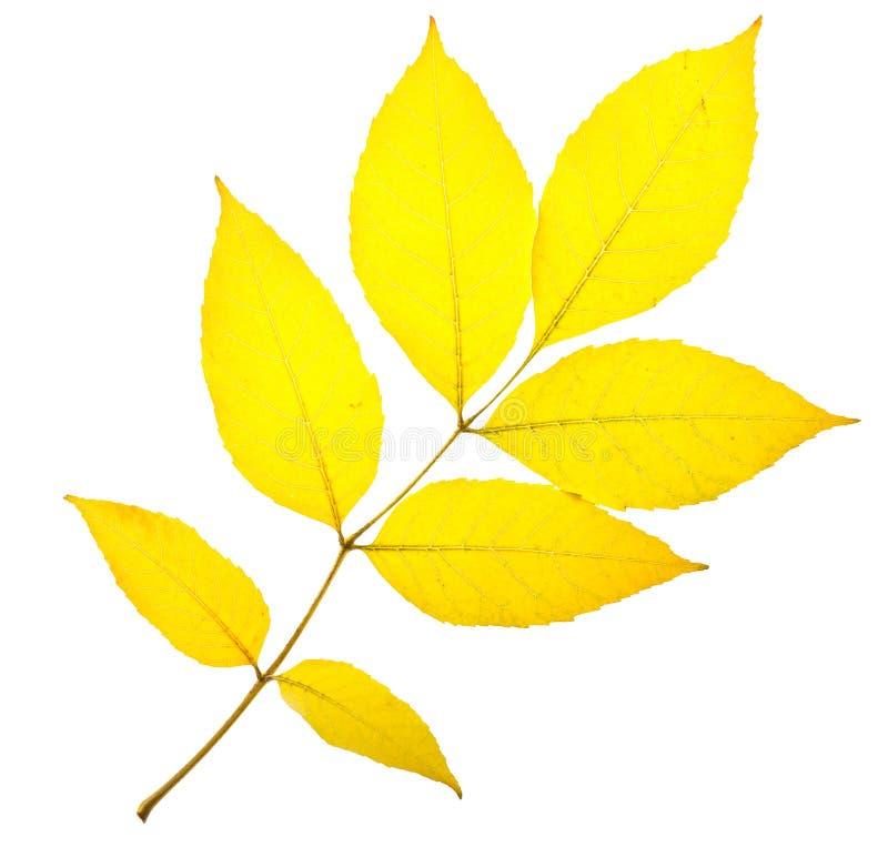 Желтые лист золы стоковые фотографии rf