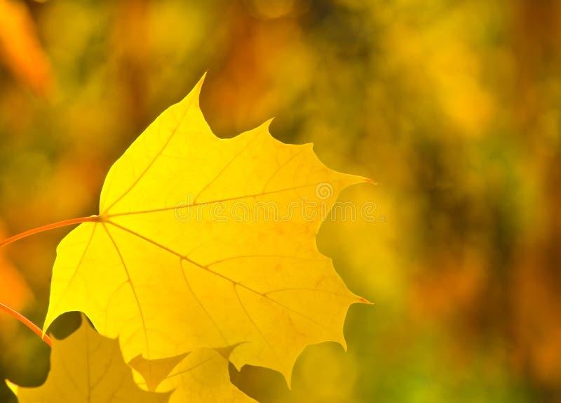 Желтые лист клена стоковая фотография