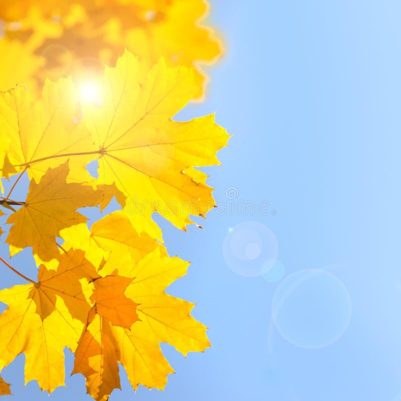 Желтые кленовые листы против предпосылки голубого неба с Солнцем - Autum стоковое фото