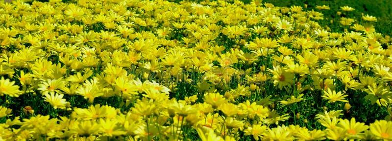 Желтые маргаритки в цветени стоковые фото