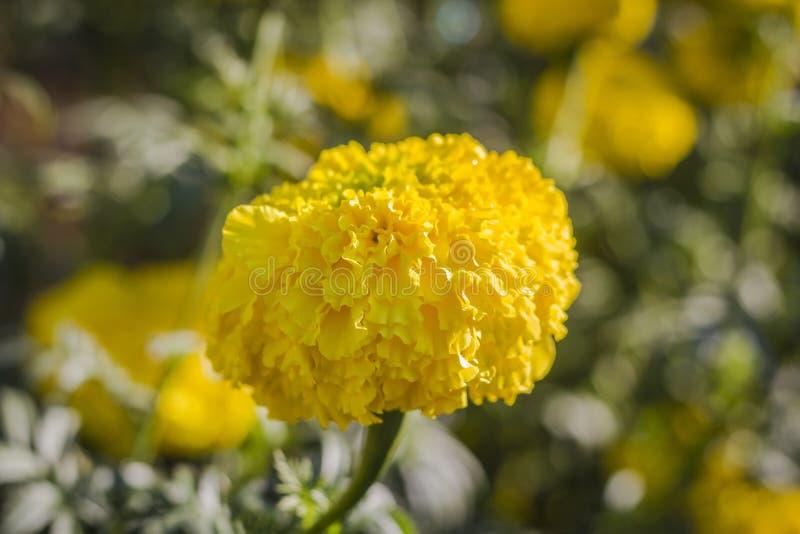 Желтые ноготки в саде, цветок букета стоковые фотографии rf