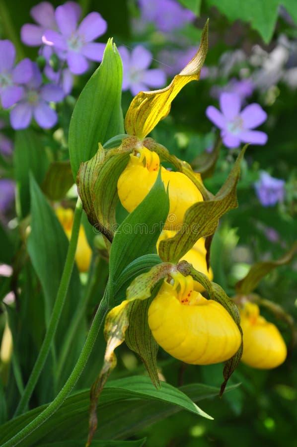 Желтые орхидеи дамы тапочки и одичалые гераниумы стоковое фото rf