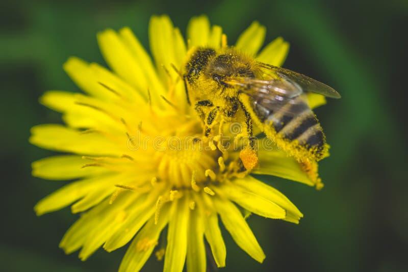Желтые одуванчик и пчела здесь весна Влюбленность пчелы этот цветок большая вода съемки макроса листьев зеленого цвета падения стоковые изображения