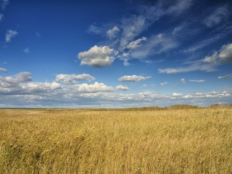 Желтые поля под драматическим голубым небом с белыми облаками близрасположенными колония древнегреческия Histria, на берегах Чёрн стоковая фотография rf