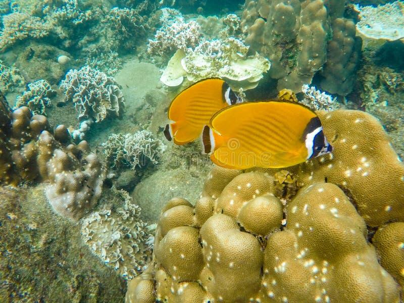 Желтые рыбы ангела подводные стоковое изображение rf