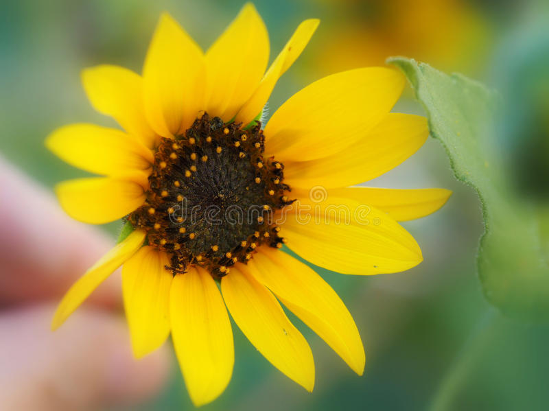 Желтые солнцецвет и лист стоковое изображение rf
