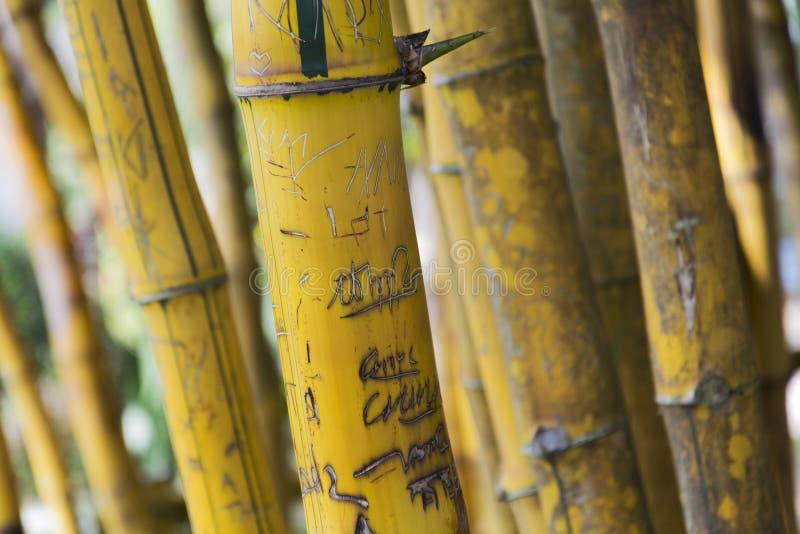 Желтые тростники в бамбуковом лесе стоковые фото
