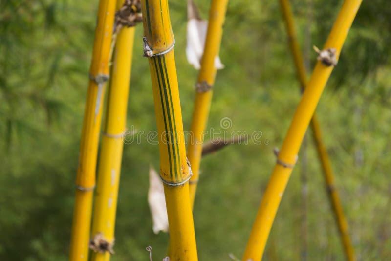 Желтые тростники в бамбуковом лесе стоковое изображение