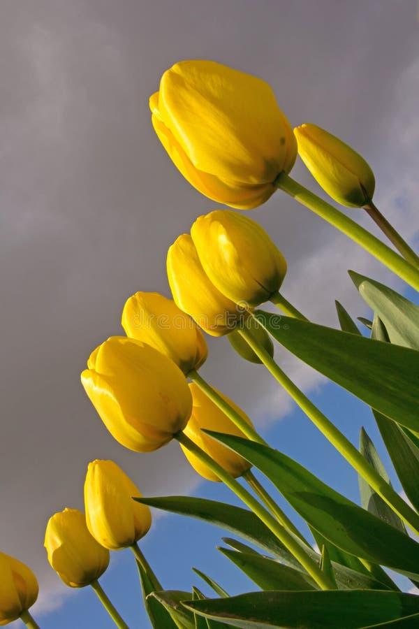 Желтые тюльпаны, взгляд Черепашк-глаза стоковые изображения rf