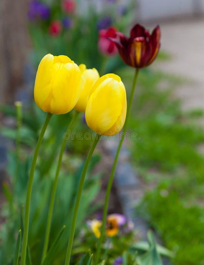 Желтые тюльпаны растя в flowerbed стоковые фотографии rf
