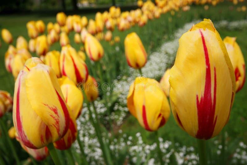 Желтые тюльпаны стоковая фотография rf