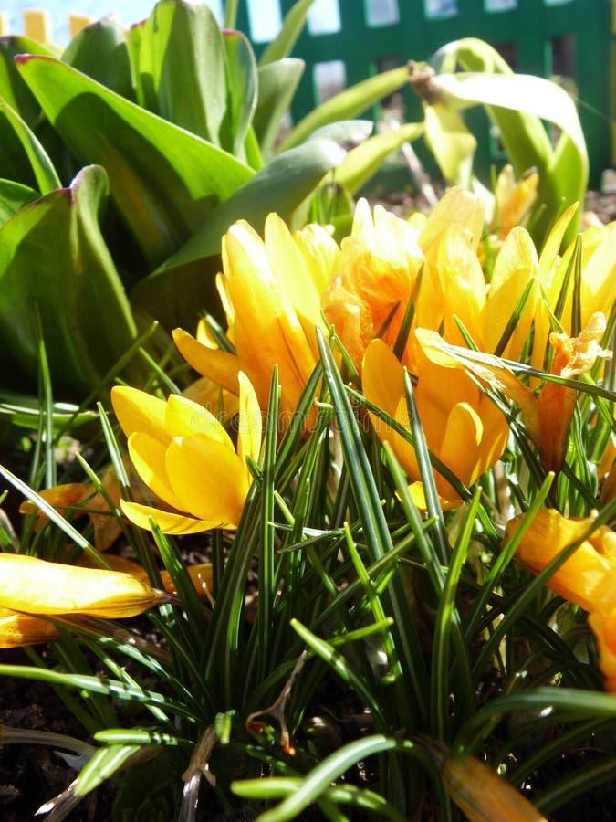 Желтые тюльпаны стоковые изображения