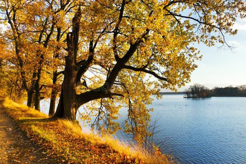 Желтые дубы на Svet Pond обваловка в Trebon стоковое изображение