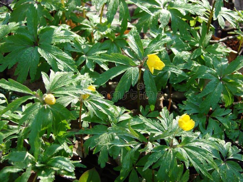 Download Желтые цветки весны стоковое изображение. изображение насчитывающей yellow - 37929819
