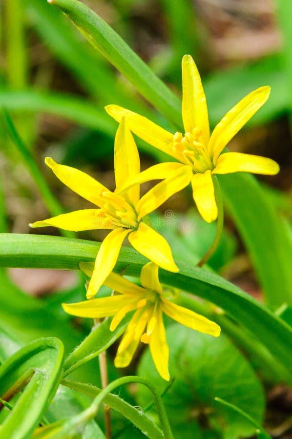 Желтые цветки Звезд--Вифлеема (lutea Gagea) стоковое изображение