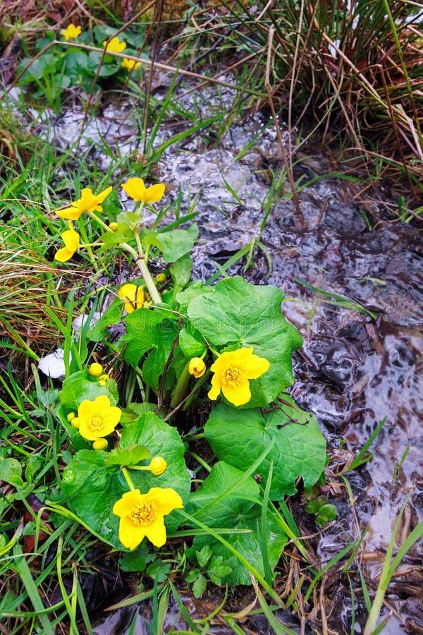 Желтые цветки и заводь весны стоковое изображение