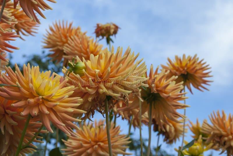 Желтые цветки против неба стоковое фото rf