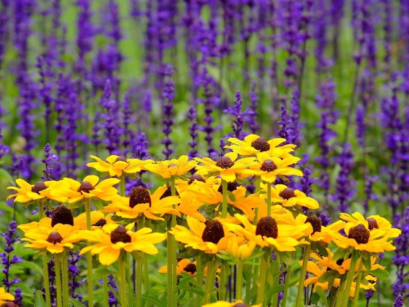 Желтые цветки против пурпура стоковые фотографии rf
