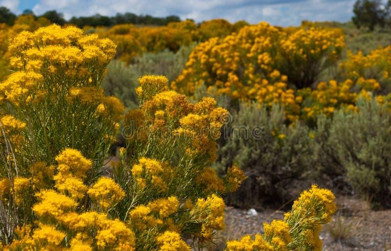 Желтые цветки щетки кролика Неш-Мексико золотой стоковое изображение