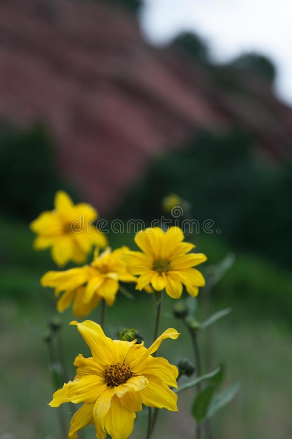 Желтые цветки стоковое изображение rf