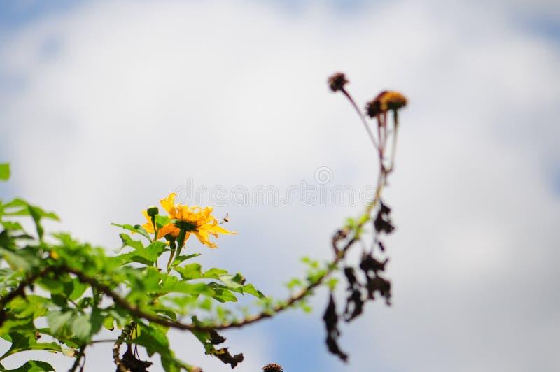 Желтые цветок & бутон стоковое изображение
