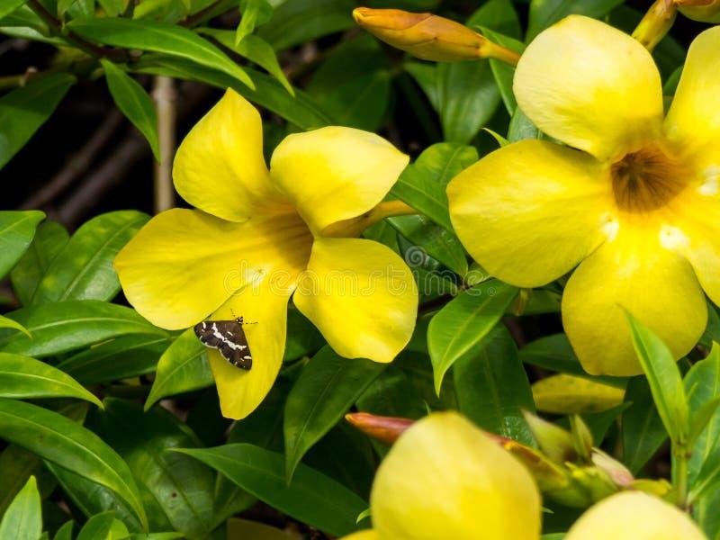 Желтые цветок золотой трубы Allamanda и шкипер на междуконтинентальной гостинице курорта и курорта в Папеэте, Таити, Французской  стоковое фото