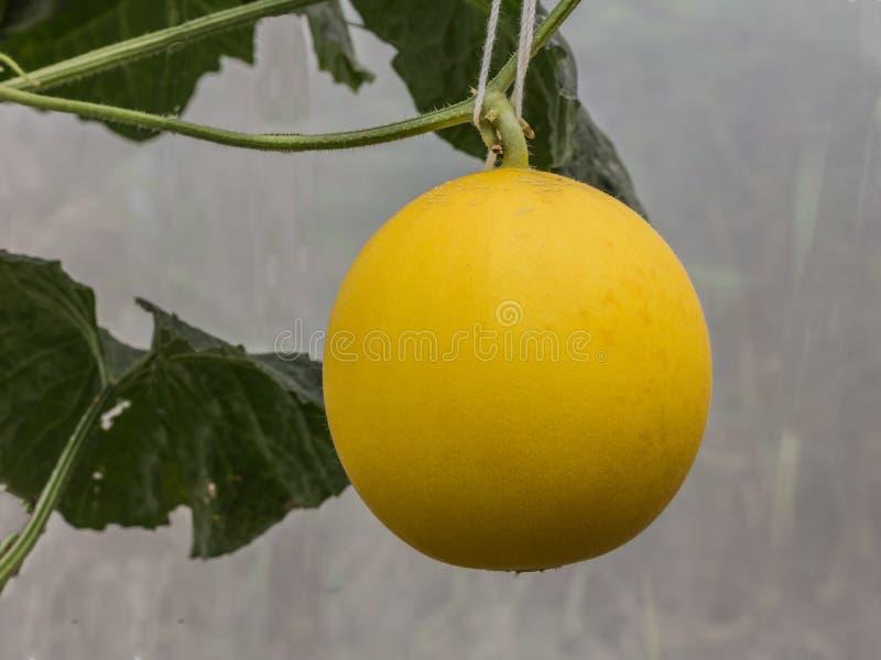 Желтые дыни канталупы растя в парнике стоковые фото