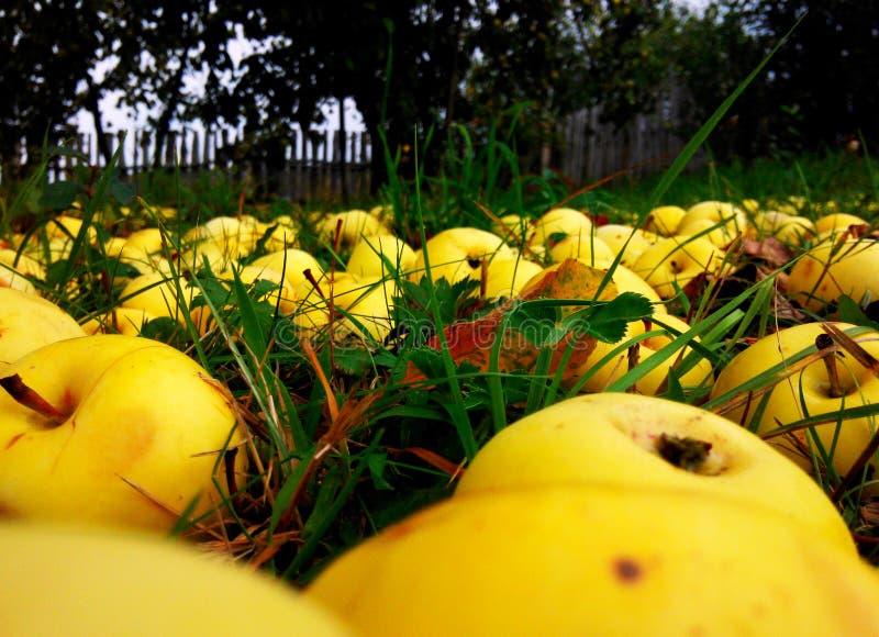 Желтые яблоки стоковые изображения