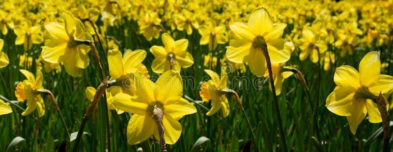 Желтые daffodils в саде стоковое изображение