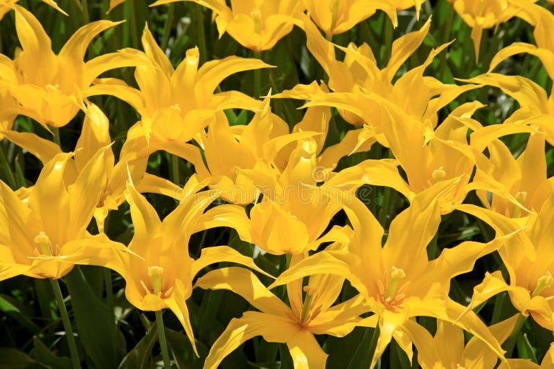 Желтые toulips стоковая фотография rf