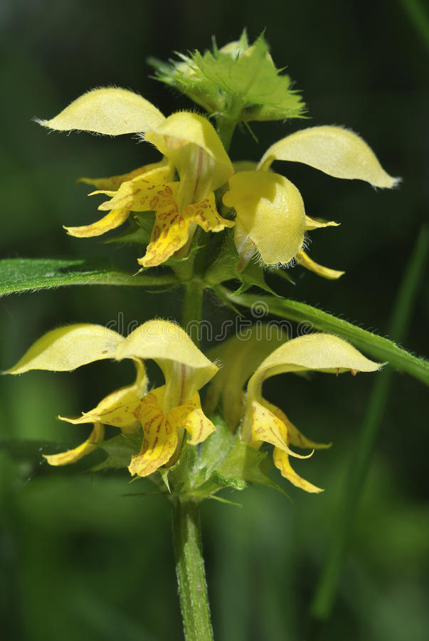 Желтый Архангел - galeobdolon Lamiastrum стоковое изображение