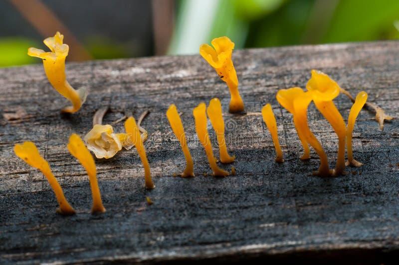 Желтый грибок студня стоковая фотография