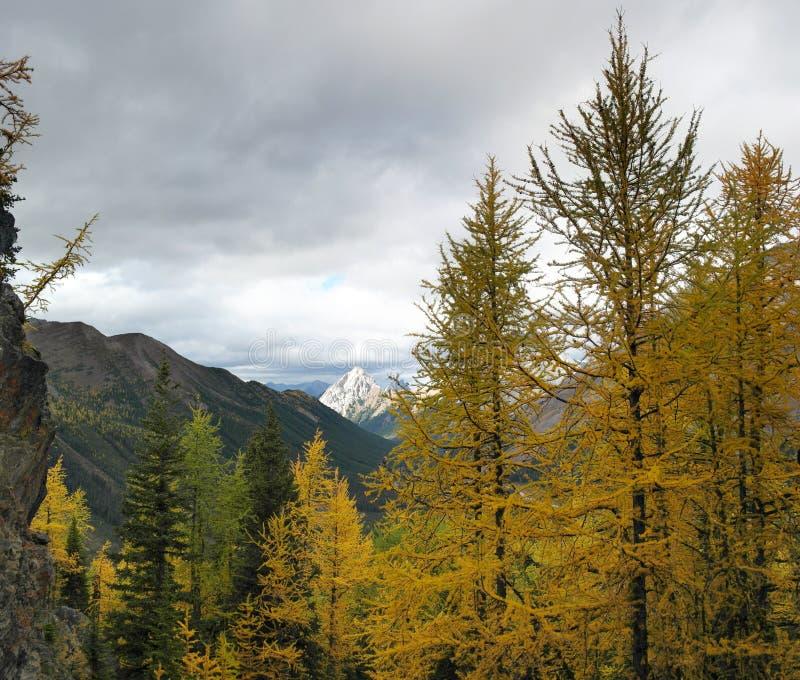 Желтый лес дерева лиственницы в горах стоковое фото