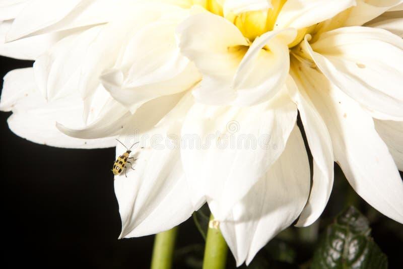 Желтый жук на белом цветке стоковые фото