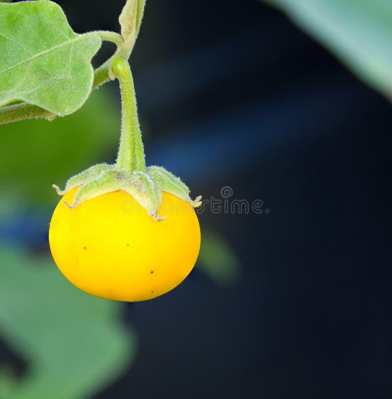 Желтый зрелый баклажан стоковые фото